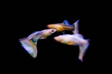 accosting: Swimming guppy tropical fish pet Stock Photo