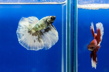 Siamese fighting fish, betta fish photo
