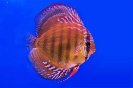 discus: Pompadour (Discus) fish in a fish tank