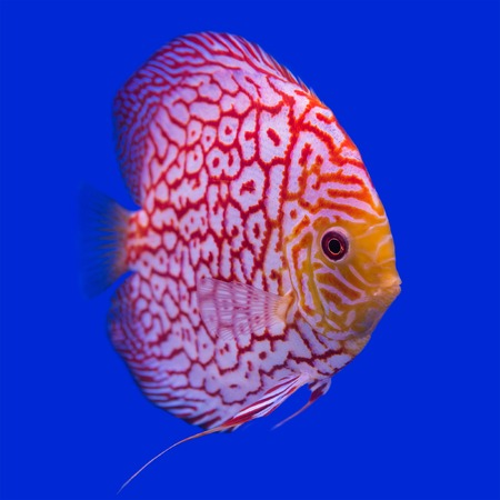 Pompadour (Discus) fish in a fish tank photo