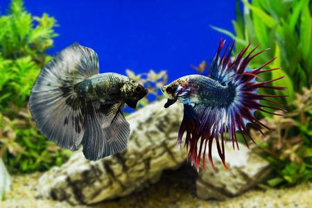 Betta の魚、緑の植物とシャムの戦いの魚 写真素材
