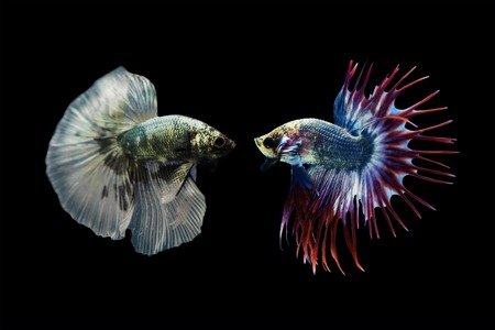 Betta fish, Siamese fighting fish isolated on black background photo
