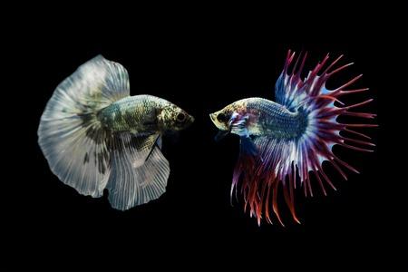 siamese fighting fish: Betta fish, Siamese fighting fish isolated on black background