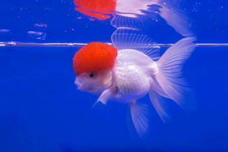 Beautiful goldfish on blue background. photo