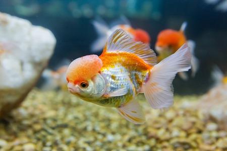 aquarium eau douce: poisson d'or dans un aquarium d'eau douce Banque d'images