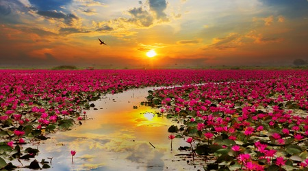 Sunshine stijgende lotusbloem in Thailand