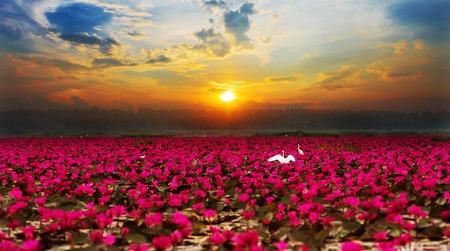 Sunshine rising lotus flower in Thailand photo