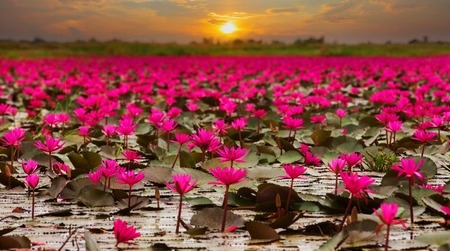 buddha lotus: Sunshine rising lotus flower in Thailand