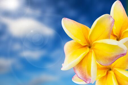 pink plumeria with sky background photo