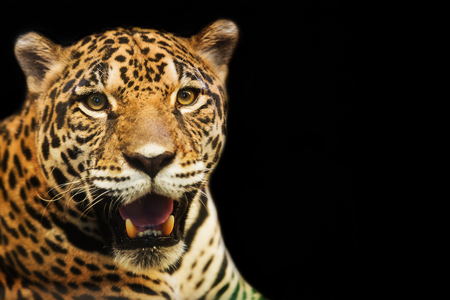 close up eyes: Close up portrait of leopard with intense eyes Stock Photo