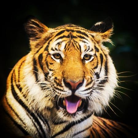 bengal tiger: Tiger portrait of a bengal tiger. Stock Photo