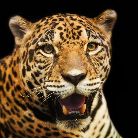 Adult Female Jaguar sitting on the rock looking into the camera Stock Photo