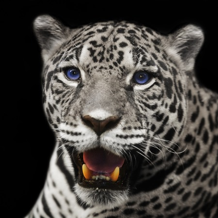 tigre blanc: Gros plan léopard jaguar à regarder la caméra.
