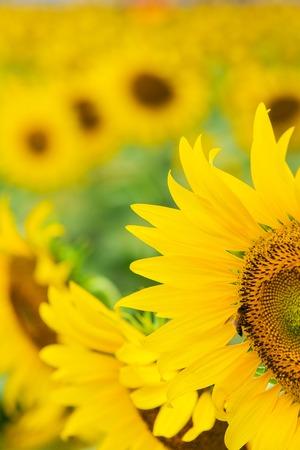 closeup of a beautiful sunflower in a field