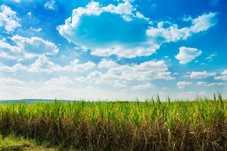 fine cane: Sugarcane field in blue sky and white cloud in Thailand. Stock Photo