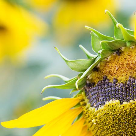 germinate: Floor sunflower seed is still on the flowers. Stock Photo