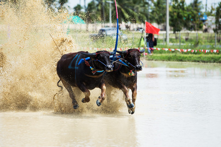 annually: Status of traditional buffalo race, which is held annually at Chonburi, Thailand.