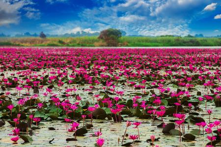 Sea of red lotus , Marsh Red lotus Sea of red lotus Thailand Standard-Bild