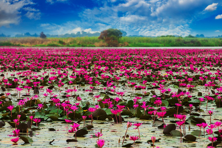 thailand: Sea of red lotus , Marsh Red lotus Sea of red lotus Thailand Stock Photo