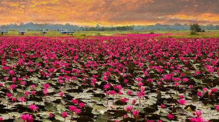 nirvana: Sunshine rising lotus flower in Thailand