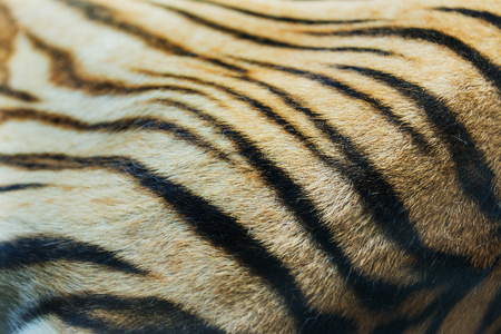 tiger skin: texture of real tiger skin Stock Photo