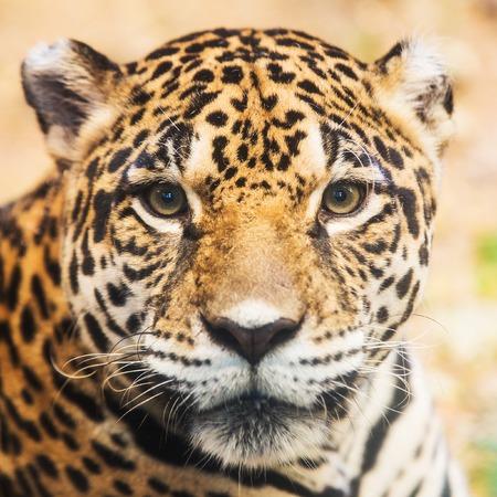leopard: Leopard portrait
