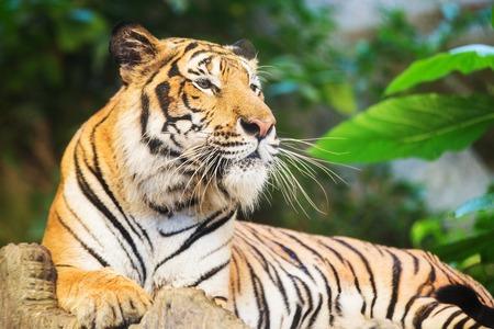 tiger stripe: Tiger, portrait of a bengal tiger.
