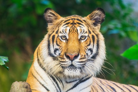 bengal tiger: Tiger, portrait of a bengal tiger.