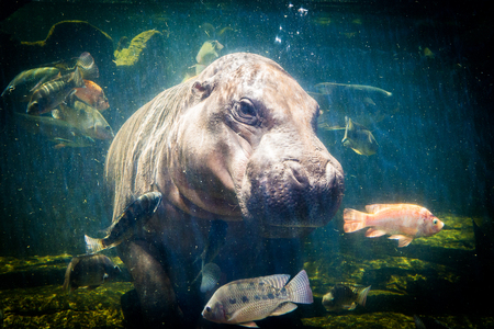 africa kiss: Pygmy hippos underwater