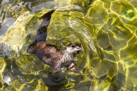 small clawed: Asian small clawed otter (amblonyx cinereus) swimming in fresh water