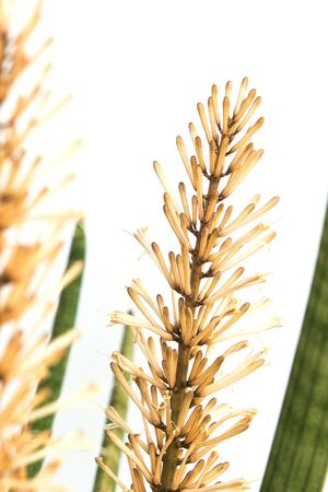cylindrica: Sansevieria cylindrica Bojer on a white background Stock Photo