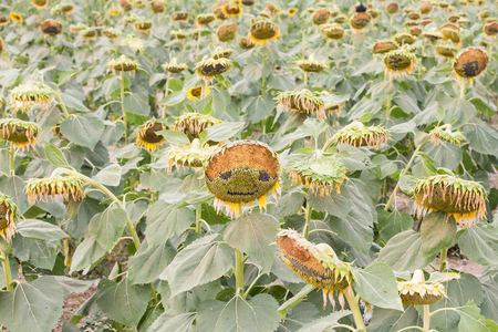 sear and yellow leaf: Beautiful yellow sunflower in big withered field