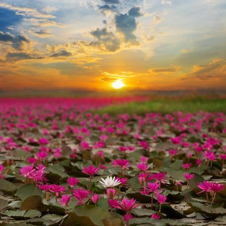 Sunshine rising lotus flower in Thailand