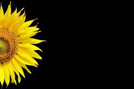 flower fields: Sunflower on black background Stock Photo