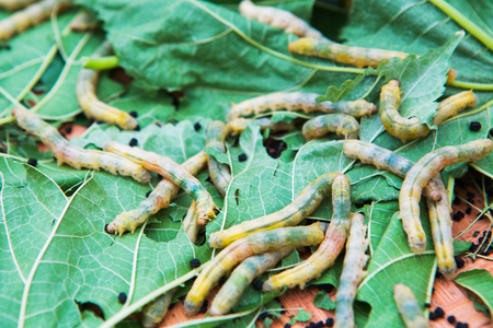 room for text: Macro photo of a Silkworm eating a mulberry leaf. room for text .