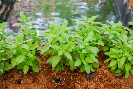 admixture: Part of Holy basil pile