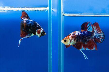 submersion: Siamese fighting fish Stock Photo