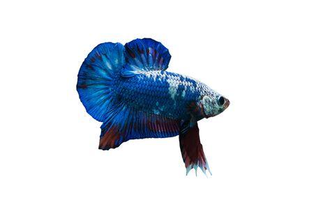 frailty: Siamese fighting fish Stock Photo
