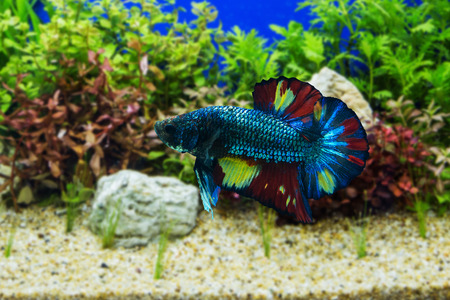 crowd tail: Siamese fighting fish with green plants