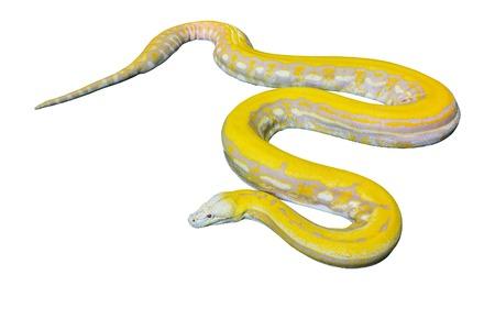 reticulatus: Gold Python,Reticulated python (Python reticulatus) on White background