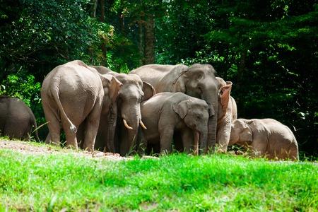 Thai elephants animals  in forest nature at Khao Yai Stock Photo