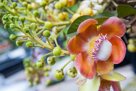 champa flower: The close up of beautiful cannonball tree flower or Couroupita guianensis flower