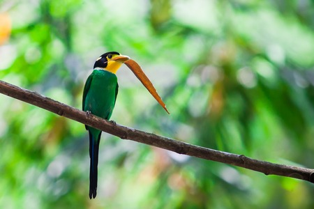 yellow tailed: long tailed broadbill and bamboo leaf in nature Stock Photo