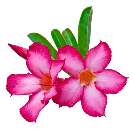 impala lily: Closeup of Pink Desert Rose or Impala Lily tropical flower on white background. Stock Photo