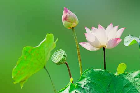 Pink lotus flower on green nature background