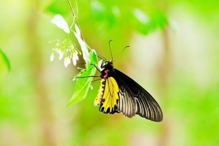 denver botanical gardens: A monarch butterfly feeding on pink flowers in a Summer garden. Stock Photo