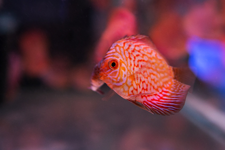 discus: Fish Symphysodon discus in an aquarium Stock Photo