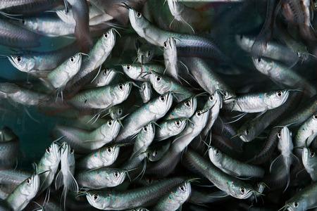 arowana: Baby Arowana fish in water at farm