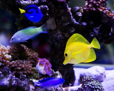 salt water: Beautiful zebrasoma salt water aquarium fish