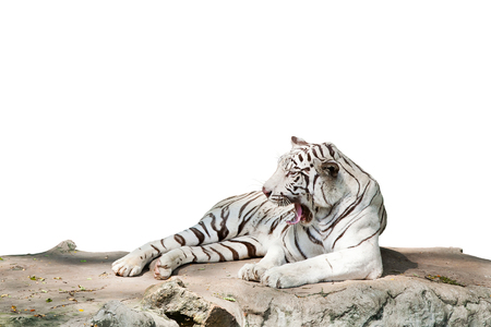 White tiger resting on a rock, looking forward for white background Stock Photo